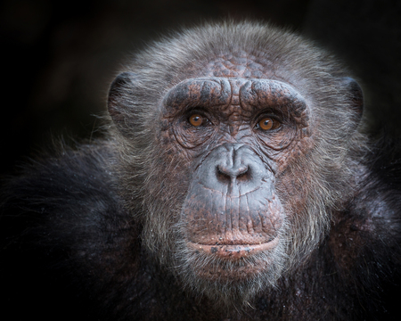 The old face of a chimpanzee on a black background. Stock Photo