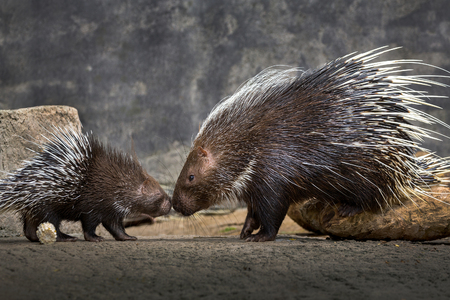 Mother and baby hedgehog (Hystrix brachyura)in the natural atmosphere. Stock Photo