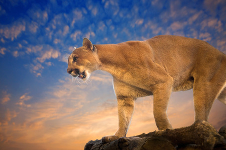 Cougar or Puma standing on the rocks in the evening.