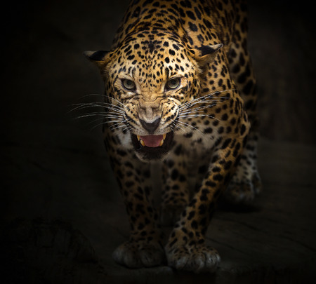 Leopard is roaring on a black background.