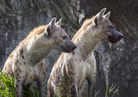 Spotted hyena in the natural environment of the zoo.
