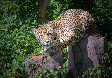 Jaguar's timber was watching the victim.
