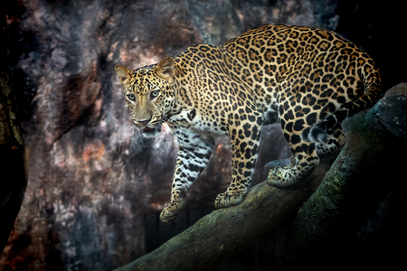 The male leopard on a timber in an atmosphere of harmony with nature Zoo.