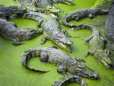 Crocodile in the natural atmosphere. Stockfoto