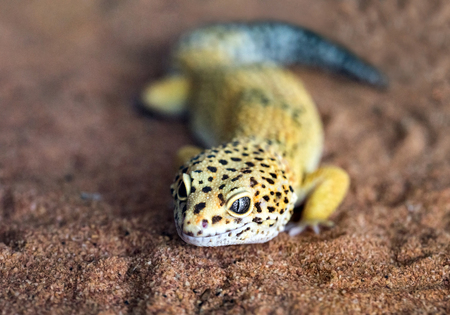 The shape and face of a leopard gecko in a natural atmosphere.
