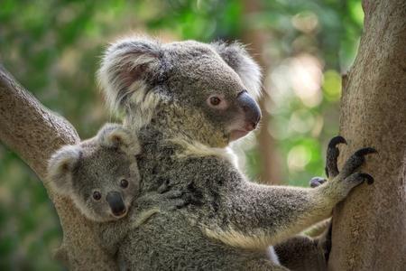 Mère et bébé koala sur un arbre dans une atmosphère naturelle. Banque d'images