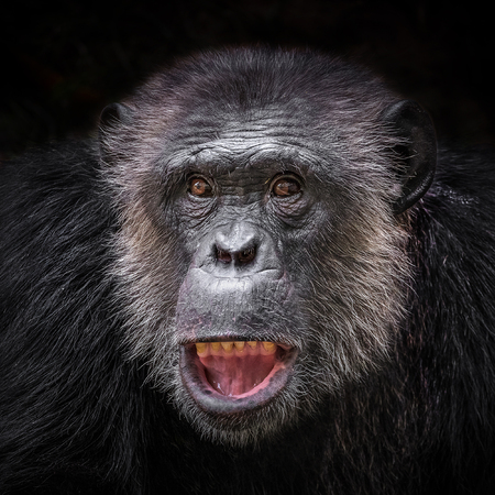 The face of a chimpanzee on a black background.