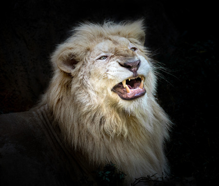 Lions Wallpapers Page 3 Big Head Teeth Cats Roar White