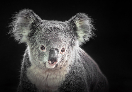 The face of a koala on a black background. Standard-Bild