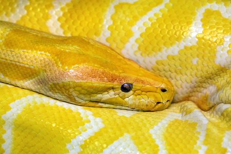 Colorful patterns and heads of gold boa. Stock Photo