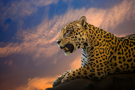 Young Jaguar resting on the rocks in the natural atmosphere.