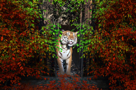 The male Sumatran tiger standing in the midst of a natural forest. 스톡 콘텐츠