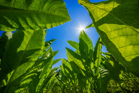 Tobacco planted at the farm on a bright blue day. Stock fotó