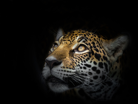 The face of a leopard is staring at the victim. Stock Photo