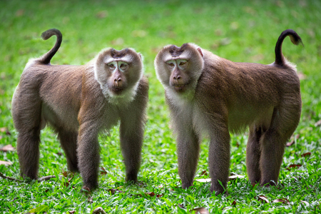 The family of pig-tailed macaque in the nature of the forest. Stock Photo