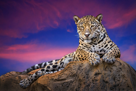 Jaguar relaxing on the rocks in the evening naturally.