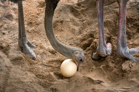 Ostrich is taking care of its eggs.