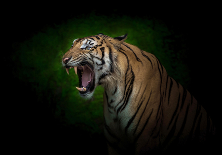 Young Indochinese tigers are roaring. Stock Photo