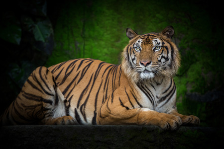 Indochinese tigers are crouching in the natural atmosphere. 写真素材