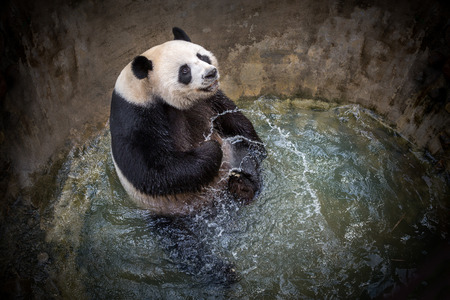 Panda is  playing happily in the pond water.