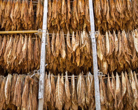 Drying tobacco leaves in a shed.