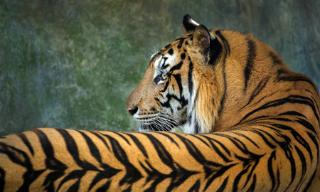 Colorful patterns and skin of the Indochinese tiger. Standard-Bild