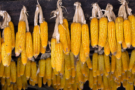 Rows of corn used for spreading interbreeding. 스톡 콘텐츠