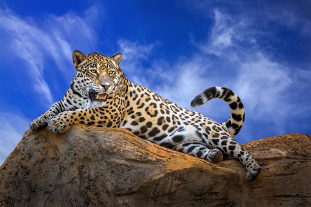Jaguar is resting on the rocks on a clear day.