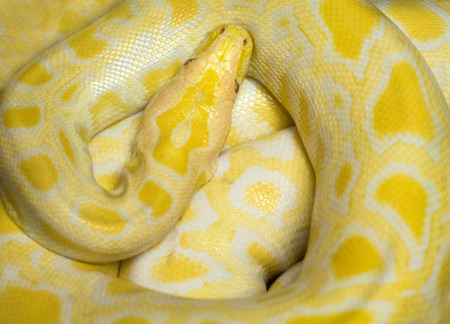 Colorful skin of the golden boa.