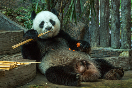 Giant panda bear eating bamboo leaf.