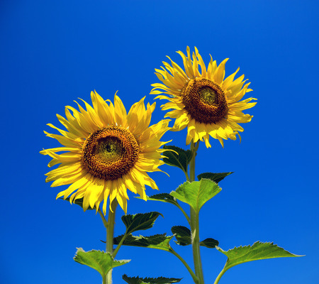 Beautiful sunflowers are blooming in the beautiful sky. Standard-Bild