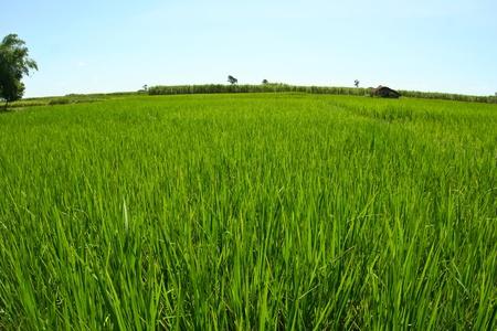 Rice farm,in thailand