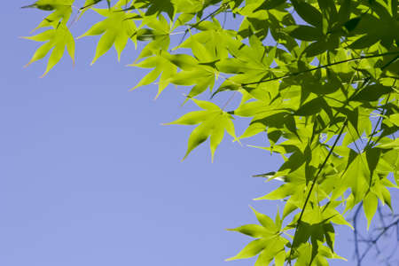 green leaves,maple