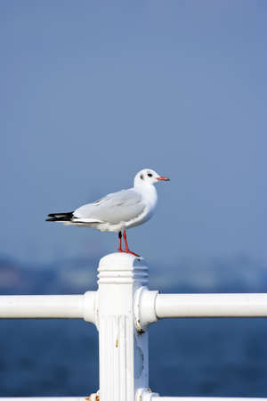 standing sea gull and blue sky