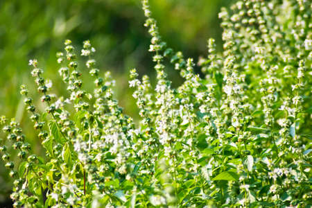 green basil flower Stock Photo
