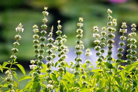 white basil flower Stock Photo