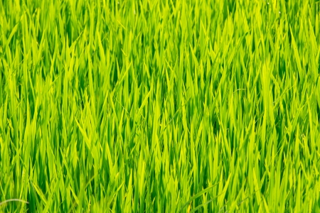 green leaves of rice farm close up