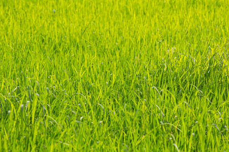 green leaves of rice farm
