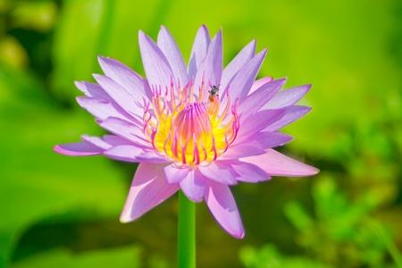 beauty lotus Stock Photo