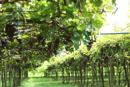 thialand: Vineyard in thialand