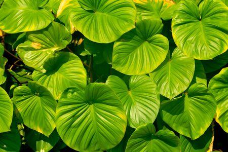 King of Heart, Green leaves