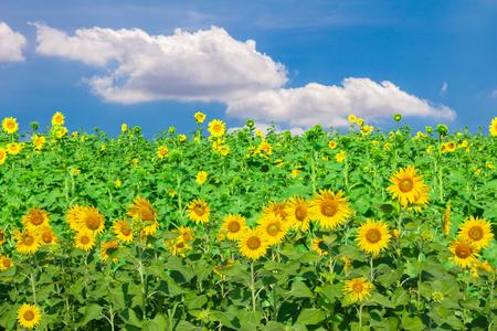 Słoneczniki krajobrazy pola na tle błękitnego nieba.