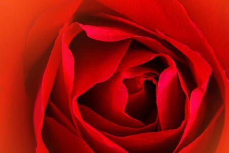 美しいクローズアップ赤いバラの背景。
