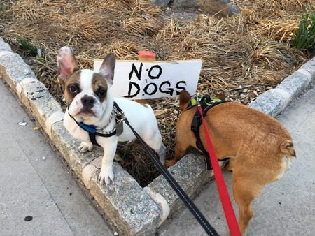Two french bulldog one white with fawn pie one fawn violating no dog allowed sign Stock Photo