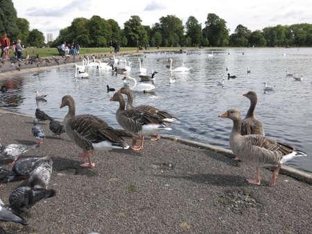waddling: Parade of ducks
