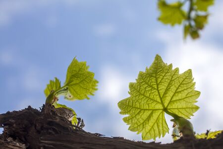 photo of twig branches with three young leaves in the early growth stage in the background sky with white sparse clouds