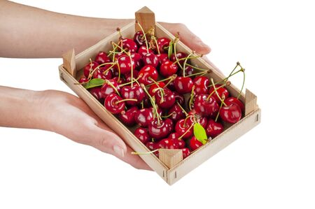 freshly picked cherries with petioles and leaves in a small crate held by a woman's hands
