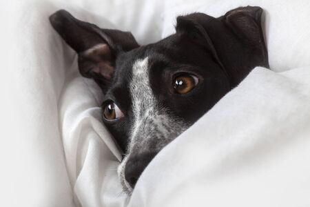 small greyhound with distracted look resting on her white blanket