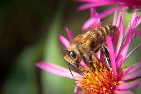 Macro Photo of Honey Bee on Dark Pink Flower in Early Morning Light.