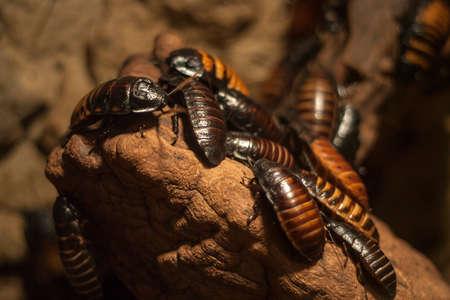 Madagascar Cockroaches